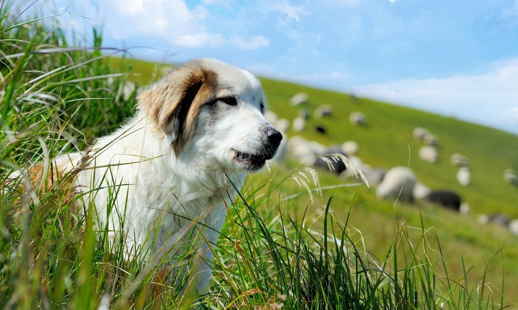 Being a Boss is Like a Sheep Dog | Leadership Advice, Tips & Tools